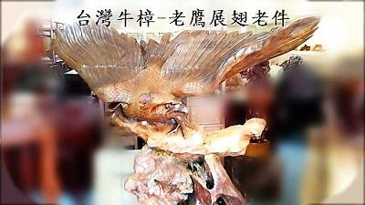 台灣牛樟老鷹